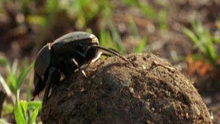 El escarabajo pelotero, uno de los insectos más fuertes del planeta