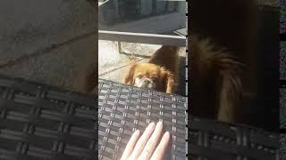 Dog Hits Head on Table Attempting to Jump onto Chair 1048636