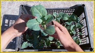 Хочешь быть с капустой делай так! / Как вырастить крепкую рассаду капусты