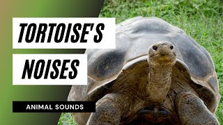 The Animal Sounds: Tortoise Galapagos Breath Hiss - Sound Effect - Animation