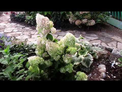 ✿➽  Гортензия метельчатая Diamantino (Диамантино) в нашем саду  2016