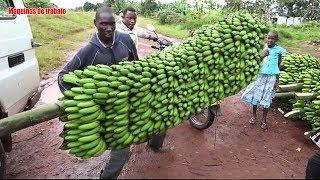 Gambar cover harvesting bananas máquinas modernas de la agricultura que clasifican el embalaje de la fábrica