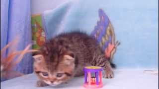 Котята питомника Файна Киця
