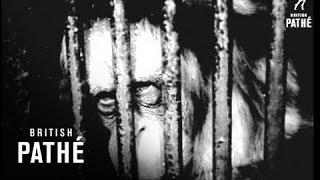 Orang-Utan Born In Captivity (1965)