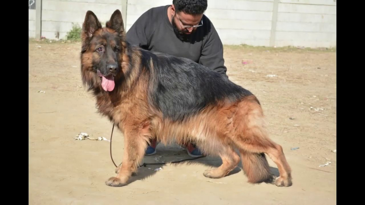 What Is The Difference Between Pedigree And Non Pedigree Gsd Dogs In Hindi And Urdu Youtube