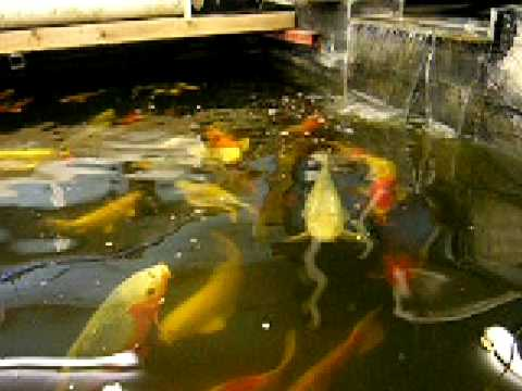 koi winter keeping indoor koi ponds youtube
