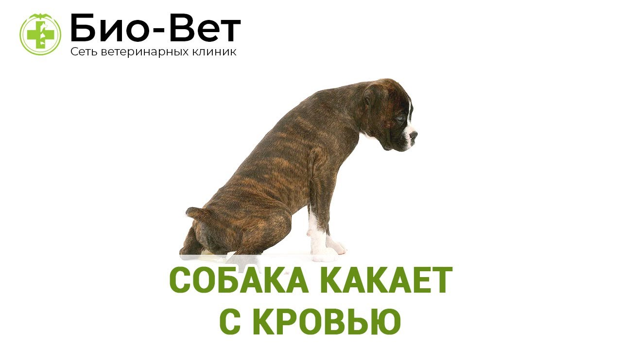 Собака Какает с Кровью // Сеть Ветклиник БИО-ВЕТ