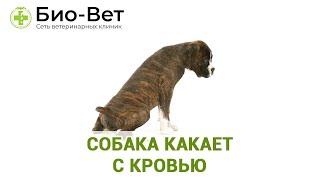 Собака какает с кровью. Ветеринарная клиника Био-Вет.