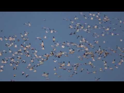 Sacramento National Wildlife Refuge Snow Geese Show