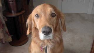 Neuse River Golden Retriever Rescue And Dog Adoption: Spyhop Productions