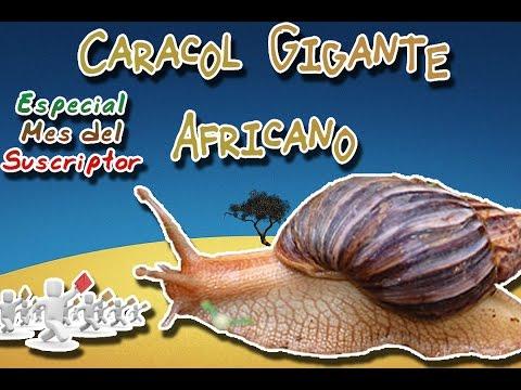 Caracol Gigante Africano |El molusco trasmisor| (Animales del Mundo) |Especial mes del suscriptor|