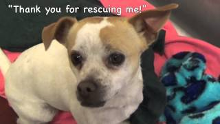 Adopt Odie! A Cute Little Pug/jack Russell Terrier Mix!