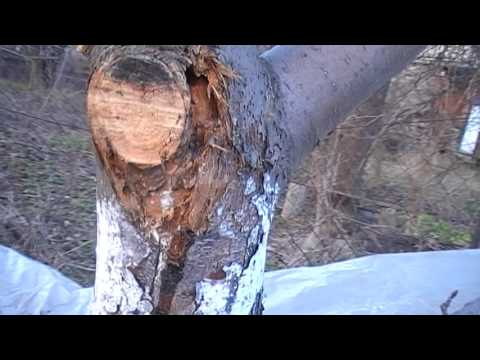 Как избавиться от  короеда на  деревьях
