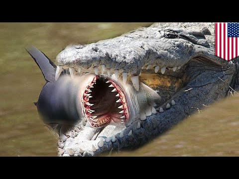 Shark v alligator: Gators eating sharks is now a thing in Florida and Georgia - TomoNews
