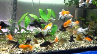 Телескопы, оранда цитцевая в аквариуме(Все виды золотых рыбок с фото можно посмотреть на портале аквариумистики http://aquarium-vl.ru/articles/akvariumnye-rybki., 2015-12-04T12:53:02.000Z)