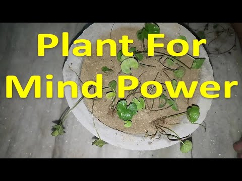 How to plant Brahmi/Mandukaparni ( Ayurveda plant ) at home