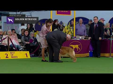 Golden Retriever (Part 2) | Breed Judging (2019)