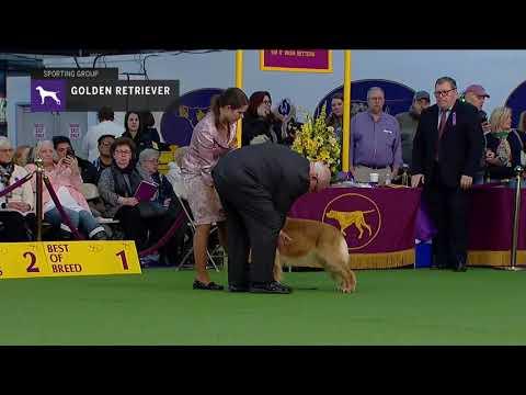Golden Retriever (Part 2) | Breed Judging (2019)