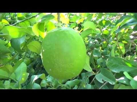 Limonu Alan Yok, Üretici Kara Kara Düşünüyor