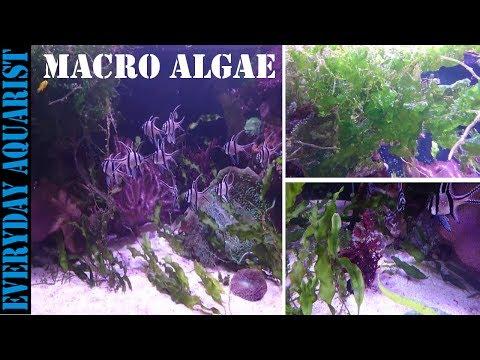 How To Grow Marine Macro Algae   Planted Saltwater Aquarium