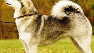 Alaskan Klee Kai  Dog Breed  Pet Friend