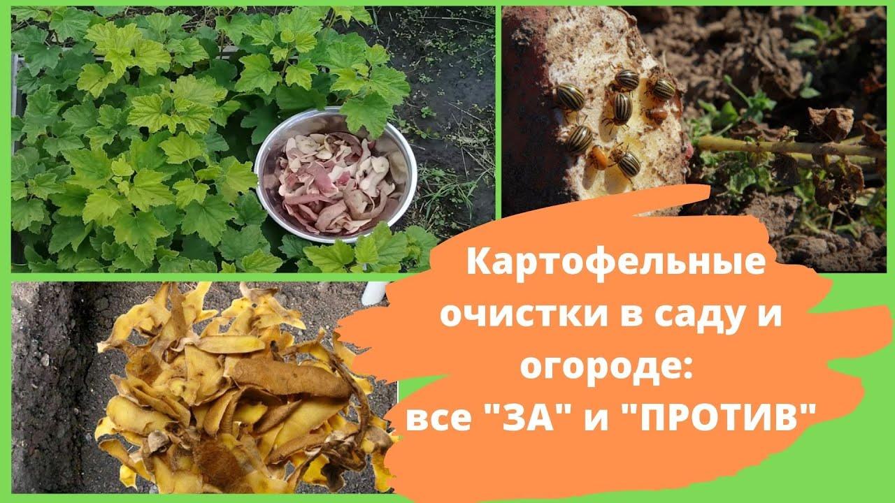 картофельные очистки как удобрение для огорода