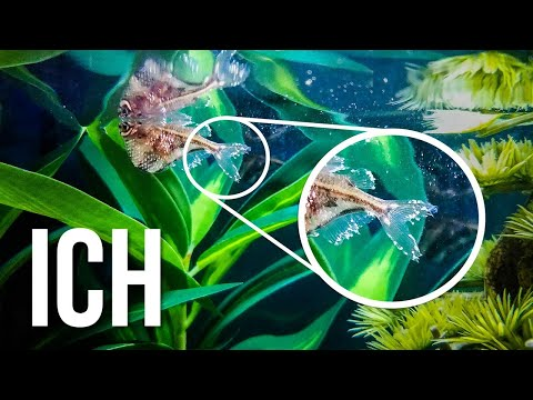 The Best ICH Treatment For Freshwater Fish