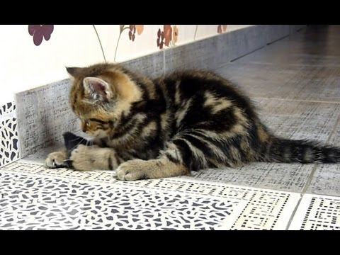 Thumbnail: Funny Cat hunter | Cute Kitten catch a mouse