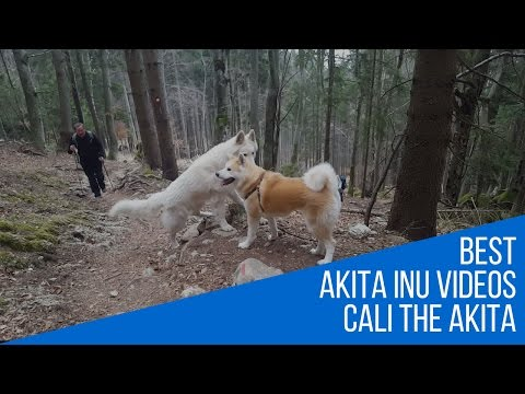 Best dog breed - Akita Inu Great hike to Tolsti vrh (Japanese Akita, 秋田犬)