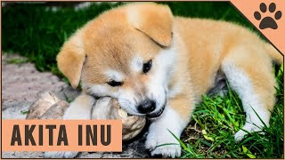 Akita Inu  Dog Breed Information