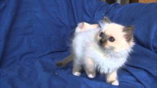 Birman kittens now 10 weeks old