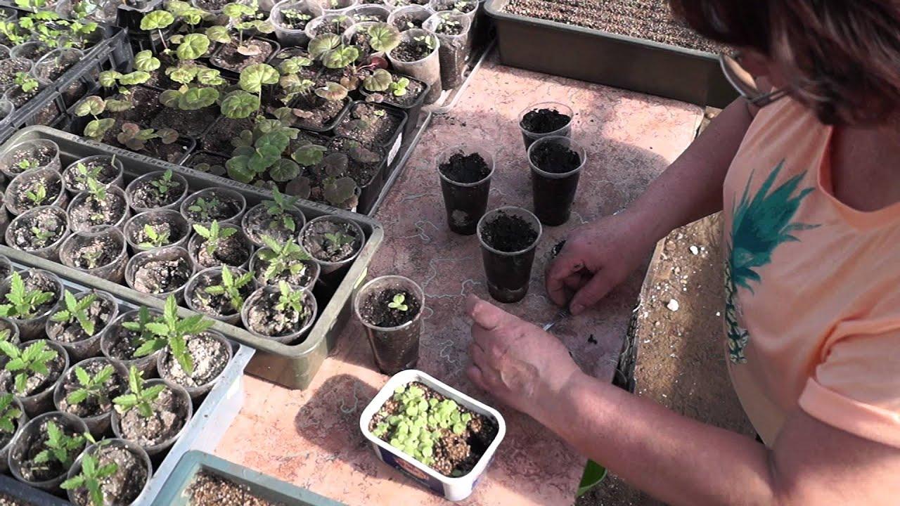 Как правильно сеять семена курительного табака на рассаду 20