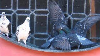 Ptaki Dzikie gołębie Walka rywali/Birds  Wild pigeons The fight of rivals