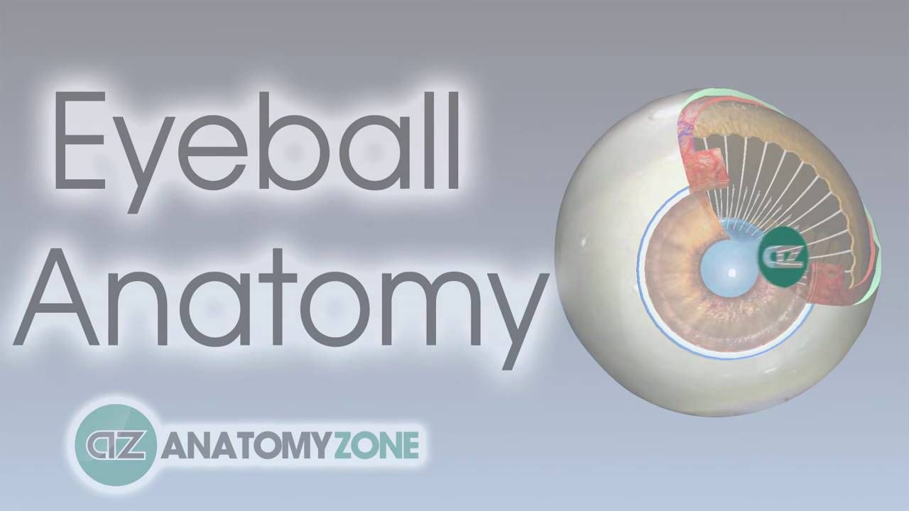 Eyeball Anatomy | Anatomy of the head - YouTube