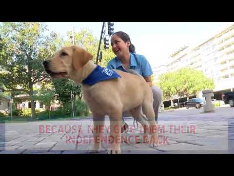 USF St. Petersburg Puppy Club students are training dogs for veterans and the visually-impaired
