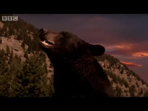 Black bear and cubs in hibernation - BBC wildlife