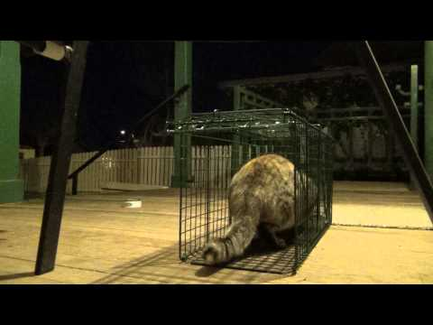The Great Escape  Fantastic Feral Feline takes the Tuna then amazes us in a captivating cage Exit