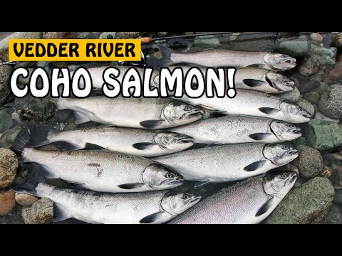 LURE FISHING FOR COHO SALMON - Vedder River Chilliwack BC Canada | Fishing With Rod