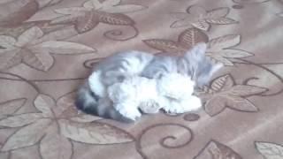 Кот катается по полу