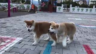 Akita Inu Puppy Playing With Brother Puppy
