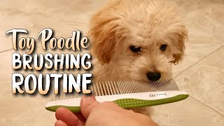 TOY POODLE PUPPY BRUSHING ROUTINE | Maple's Daily