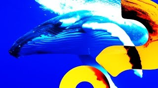 Humpback Whales to the Rescue | HowStuffWorks NOW