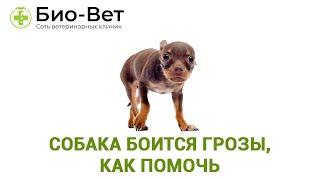 Собака боится грозы, как помочь. Ветеринарная клиника Био-Вет.