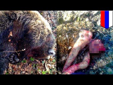 Боснийский пастух убил медведя