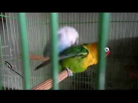Mating Lovebird