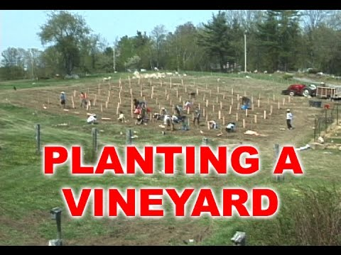 Planting Grape Vines for a 1/4 Acre Vineyard
