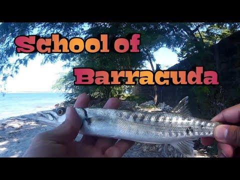 SCHOOL OF  BARRACUDA , INSHORE FISHING