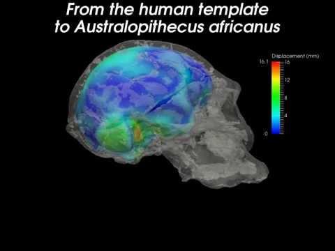 Humans to Australopithecus africanus