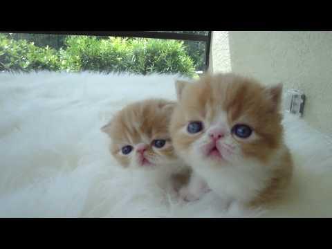 Red and White Short Hair Exotic Kittens by Belcherpurrs.com