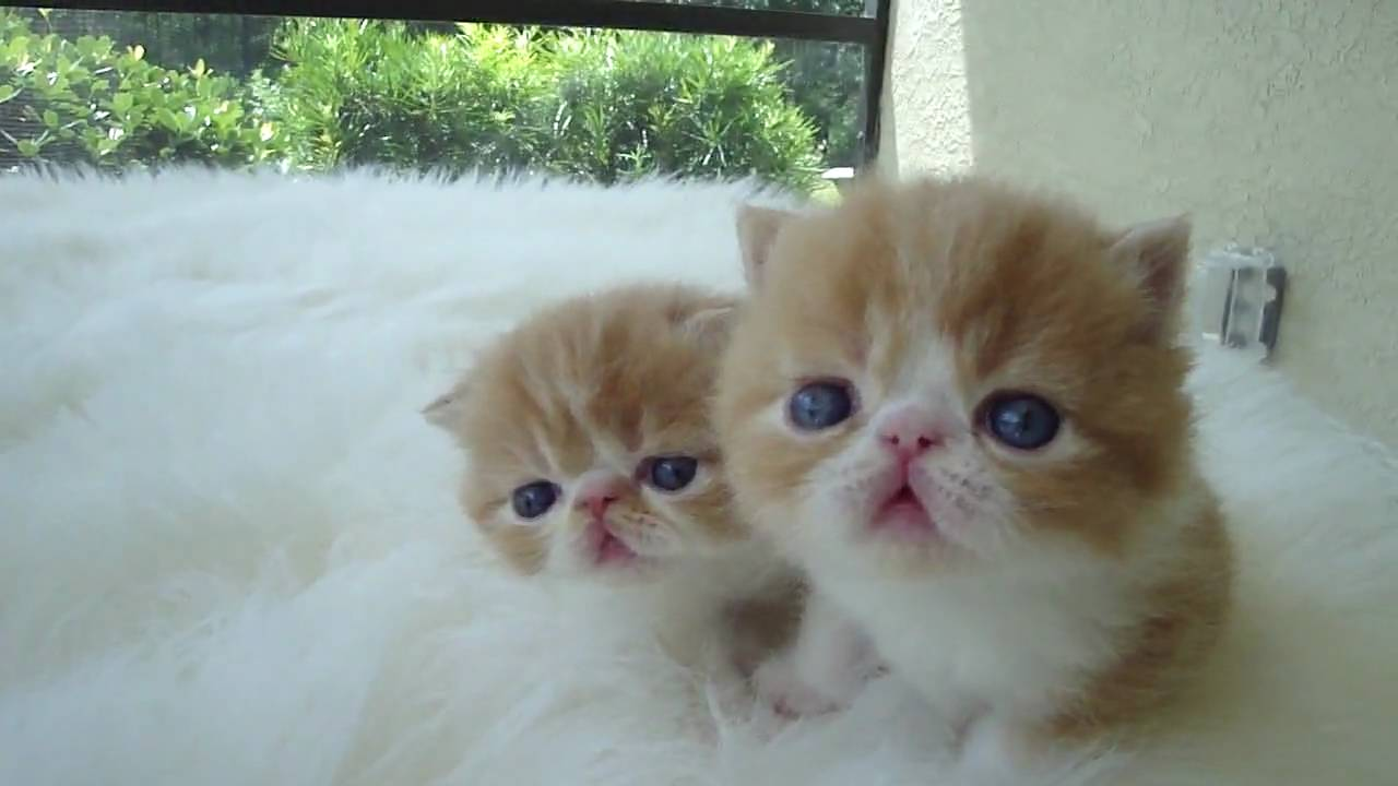 Red and White Short Hair Exotic Kittens by Belcherpurrs